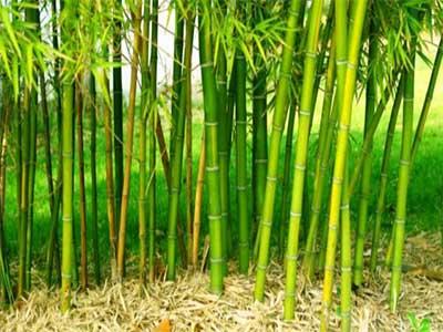 Ricerca Bamboo